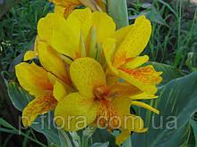 Канна садовая Yellow King Humbert