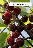 Саженцы плодовых Чудо вишня саженцы