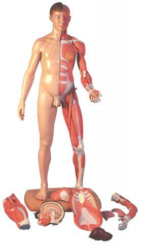 Фигура человека 3b Scientific ® в полный рост, 2-полая, строение мускулатуры, европ.тип, 39 частей.