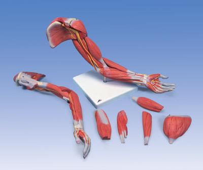 Мышечное строение руки, 6 частей, класс люкс.