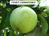 Саженцы плодовых Симиренко - яблоня не нуждающаяся в рекламе  саженцы