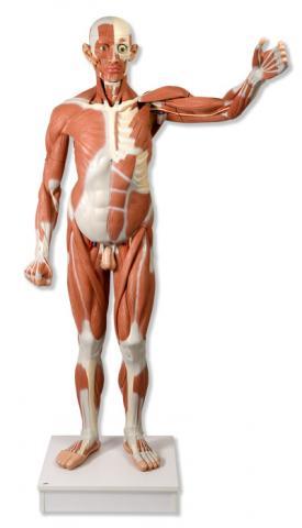 Мужская модель в натуральную величину с мышцами, 37 частей.