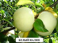 Саженцы плодовых Летняя яблоня Белый налив саженцы