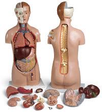 Модель торса, двуполая, с открытыми головой, спиной и плечом (24 части).