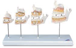Развитие зубов.