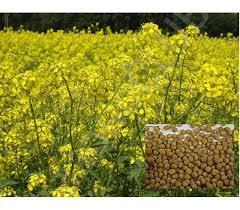Семена горчицы белой 1 кг, Украина