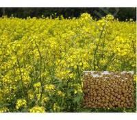 Семена горчицы желтой 1 кг, Украина