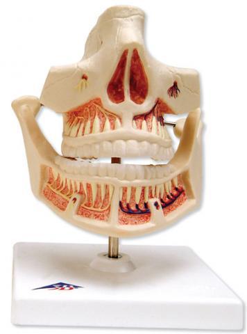 Зубы взрослого человека.