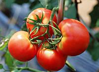 Семена томата Тести F1 (Bejo Zaden), индетерминантный, 5гр.