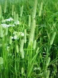 Насіння Тимофіївка лучна кормові трави 1 кг, Україна