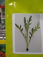 Рукола дикая 100г, семена протравлены, Германия