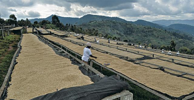 купить натуральный Руандийский кофе в зернах в Украине