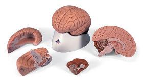 Мозг, 4 части.