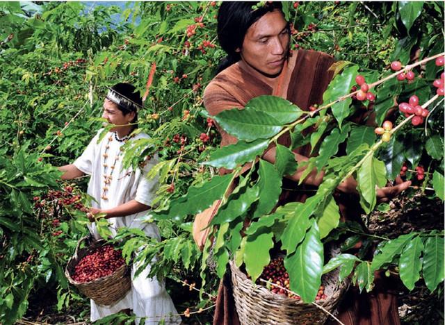 сбор урожая кофе в Перу, купить перуанский кофе для турки в Украине