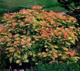 Горобинник горобинолистий Sem2 річна, Рябинник рябинолистный Сэм, Sorbaria sorbifolia Sem, фото 2