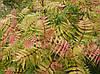 Горобинник горобинолистий Sem2 річна, Рябинник рябинолистный Сэм, Sorbaria sorbifolia Sem, фото 4