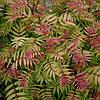 Горобинник горобинолистий Sem2 річна, Рябинник рябинолистный Сэм, Sorbaria sorbifolia Sem, фото 3