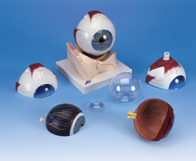 Глаз, в костной глазнице, 5-кратное увеличение, 7 частей.