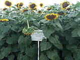 Урожайный подсолнечник НСХ 187. Засухоустойчивый гибрид НСХ 187 держит заразиху расы А-Е. Стандарт, фото 2