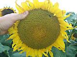 Урожайный подсолнечник НСХ 187. Засухоустойчивый гибрид НСХ 187 держит заразиху расы А-Е. Стандарт, фото 3