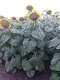Урожайный подсолнечник НСХ 187. Засухоустойчивый гибрид НСХ 187 держит заразиху расы А-Е. Стандарт, фото 4