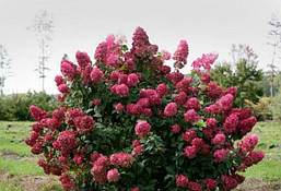 Гортензія волотиста Wim's Red 2 річна, Гортензия метельчатая Вимс Ред, Hydrangea paniculata Wim's Red, фото 3