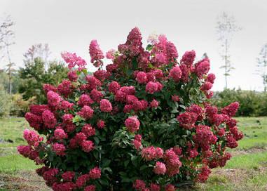 Гортензія волотиста Wim's Red 2 річна, Гортензия метельчатая Вимс Ред, Hydrangea paniculata Wim's Red