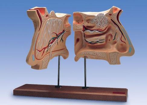 Нос и орган обоняния, 4-кратное увеличение.