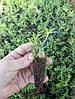 Туя західна Smaragd 3 річна, Туя западная Смарагд, Thuja occidentalis Smaragd, фото 4