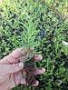 Туя західна Smaragd 3 річна, Туя западная Смарагд, Thuja occidentalis Smaragd, фото 6