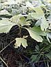 Туя західна Smaragd 3 річна, Туя западная Смарагд, Thuja occidentalis Smaragd, фото 2