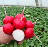 Семена редиса Диего F1 (250 грамм) калибр.