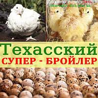 Инкубационные яйца Техасского перепела