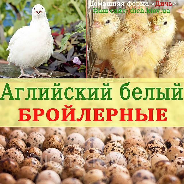 Инкубационные яйца перепелов Английский белый