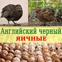 Инкубационные яйца Английских черных перепелов