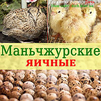 Инкубационные яйца перепелов, породы Маньчжурские