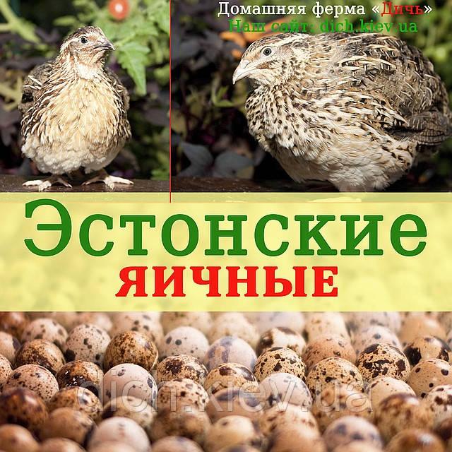 Инкубационные яйца Эстонских перепелов