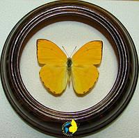 Сувенир - Бабочка в рамке Phoebis argante. Оригинальный и неповторимый подарок!