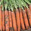 Семена моркови Наполи F1 1,8-2,0 мм (25 000) ранняя тип нантес