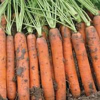 Семена моркови Наполи F1 1,8-2,0 мм (25 000) ранняя тип нантес, фото 1