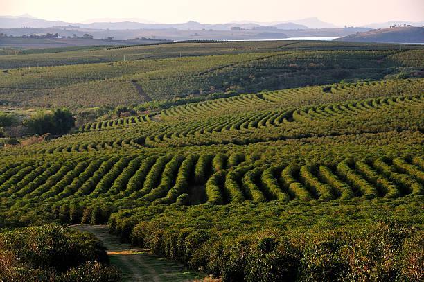 выращивание кофе Бразилия Серрадо в регионе Минас Жерайс