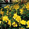 Звіробій кущовий Hidcote 2 річний, Зверобой кустарниковый Хидкот, Hupericum Hidcote, фото 2