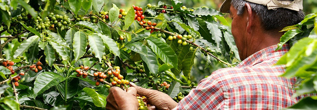 выращивание кофе арабика Колумбия Супремо, заказать в интернет магазине