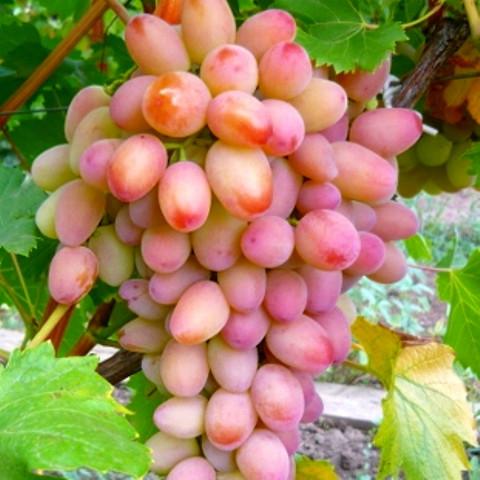 Виноград Ух-ты (Шамаханская царица)