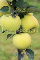 Яблоня колонновидная МЕДОК, фото 1