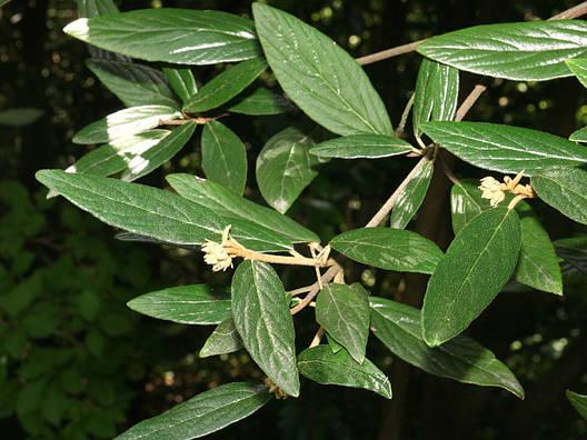 Калина морщинистолистна 2 річна, Калина морщинистолистная / Пражская, Viburnum rhytidophyllum, фото 2