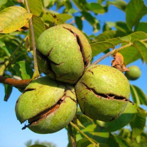 Грецкий орех Tulare привитой