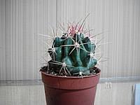 Кактус Thelocactus Bicolor