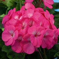 Семена Пеларгония Павла фиолетово-розовая F1 10 шт, Cerny