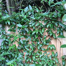 Жимолость (вічнозелена) Генрі 2 річна, Жимолость вечнозеленая Генри, Lonicera henryi Hemsl, фото 2